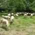 На салашу Кинг 273 данас почиње фестивал овчарства