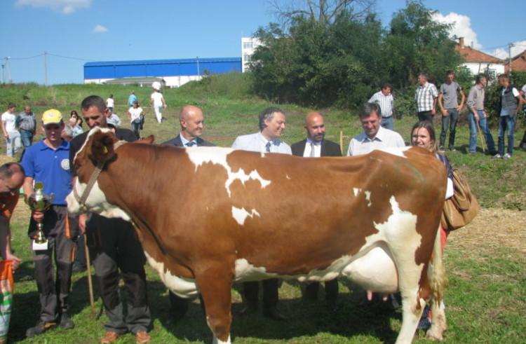 Шампионка 35. изложбе крава у Лајковцу је Фрида Пољопривредне школе Ваљево